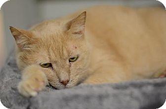 Domestic Shorthair Cat for adoption in Atlanta, Georgia - Gangster  11447
