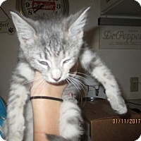 Domestic Shorthair Kitten for adoption in New Smyrna Beach, Florida - Gretel
