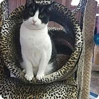 Adopt A Pet :: Cat 13709 - Parlier, CA