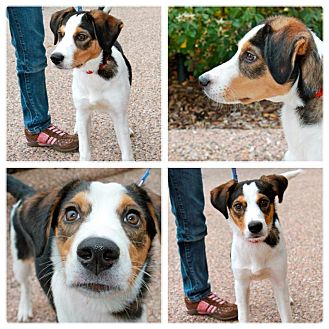 Border Collie/Beagle Mix Puppy for adoption in Garden City, Michigan - Merlin