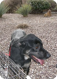 Shepherd (Unknown Type)/Great Dane Mix Dog for adoption in Las Vegas, Nevada - Big Boy