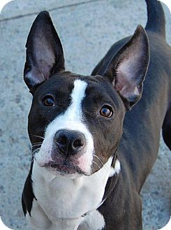 American Pit Bull Terrier/Boston Terrier Mix Dog for adoption in Nashua, New Hampshire - Pepper
