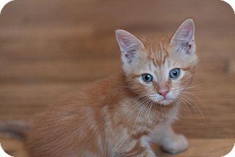 Domestic Shorthair Kitten for adoption in Brooklyn, New York - Davey