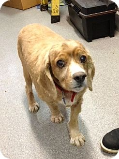 Cocker Spaniel Mix Dog for adoption in Richmond, Virginia - Dash