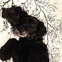 Adopt A Pet :: Lulu - Vaudreuil-Dorion, QC