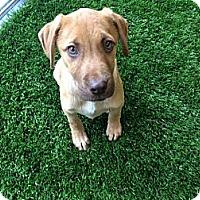 Adopt A Pet :: Rocco - Cumming, GA