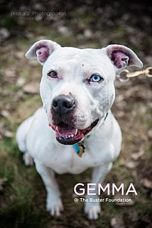 American Pit Bull Terrier Dog for adoption in Belleville, Michigan - GEMMA
