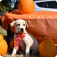 Adopt A Pet :: Harlow - Charlemont, MA