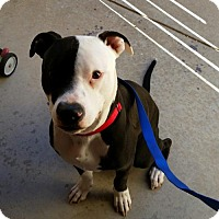 American Bulldog/Pit Bull Terrier Mix Puppy for adoption in Tucson, Arizona - Nemo