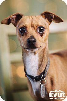 Italian Greyhound/Dachshund Mix Dog for adoption in Portland, Oregon - Derby