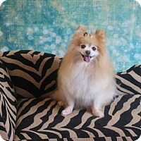 Adopt A Pet :: FiFi - Dallas, TX