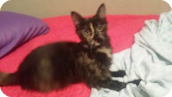 Domestic Mediumhair Kitten for adoption in Levelland, Texas - Roxie