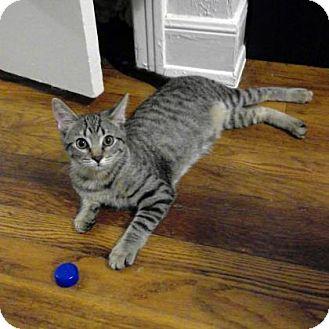 Domestic Shorthair Kitten for adoption in Austin, Texas - Opie