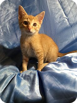 Oriental Kitten for adoption in Sarasota, Florida - Lucius