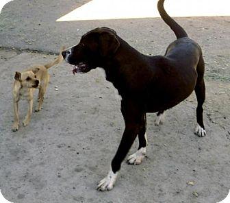 Great Dane/Labrador Retriever Mix Dog for adoption in Peralta, New Mexico - **SALLY
