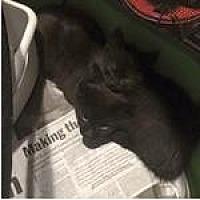 Adopt A Pet :: Lestat - Lorain, OH