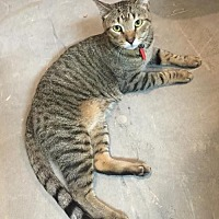 Adopt A Pet :: Lexi - Marco Island, FL