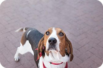 Foxhound Mix Dog for adoption in Washington, D.C. - Chewbacca