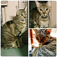Adopt A Pet :: Ayspen (in CT) - Manchester, CT