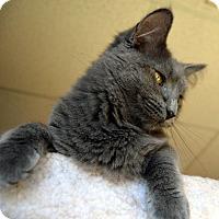 Russian Blue Kitten for adoption in Richmond, Virginia - Skye
