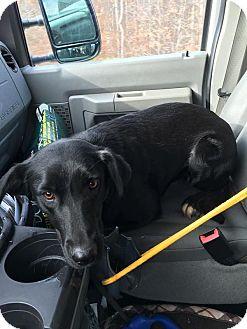 Labrador Retriever Dog for adoption in Jay, New York - Trinity