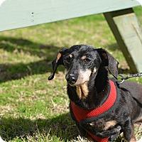 Adopt A Pet :: Granny Claire - Siler City, NC