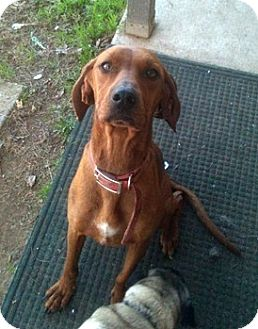 Redbone Coonhound Dog for adoption in Sacramento area, California - Keep Me In Mind