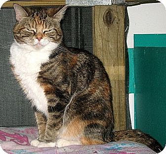 Domestic Shorthair Cat for adoption in Powell, Ohio - Cleo