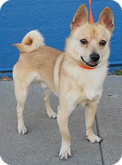 Shiba Inu Mix Dog for adoption in San Francisco, California - Baci