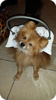 Pomeranian Dog for adoption in Studio City, California - Jackson