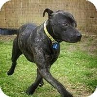 Adopt A Pet :: Arya Stark - Austin, TX