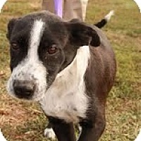 Adopt A Pet :: Chester $100 OFF! - Staunton, VA