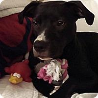 Adopt A Pet :: Lola - Courtesy Post - Brooklyn, NY