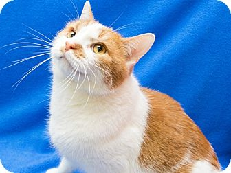 Domestic Shorthair Cat for adoption in Warren, Michigan - Roscoe aka Rascal (declawed)