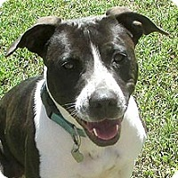 Cattle Dog Mix Dog for adoption in Phoenix, Arizona - Tessa