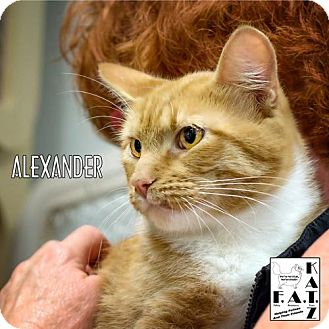 Domestic Shorthair Cat for adoption in Albuquerque, New Mexico - Alexander