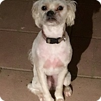 Pug/Poodle (Miniature) Mix Dog for adoption in Cerritos, California - Luna