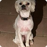 Adopt A Pet :: Luna - Cerritos, CA