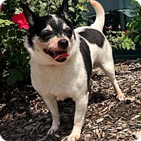 Adopt A Pet :: Wiggles - Detroit, MI