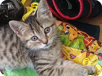 Domestic Shorthair Kitten for adoption in Berkeley Hts, New Jersey - Starla