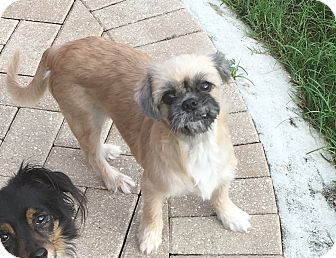 Shih Tzu Dog for adoption in Naples, Florida - June