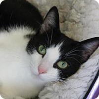 Adopt A Pet :: Mulatto - Indianapolis, IN