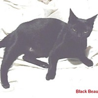 Adopt A Pet :: Black Beauty - Pensacola, FL