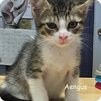 Adopt A Pet :: AENGUS - Cliffside Park, NJ