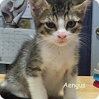Adopt A Pet :: AENGUS - Cliffside Park, NJ