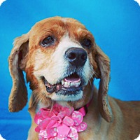 Cocker Spaniel Dog for adoption in Irvine, California - Carmela
