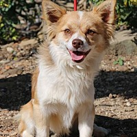 Pomeranian/Chihuahua Mix Dog for adoption in Fillmore, California - Bruiser