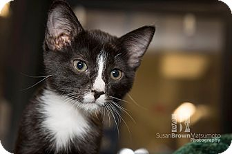 Domestic Shorthair Kitten for adoption in San Juan Capistrano, California - Domino