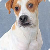 Adopt A Pet :: Bounce - Encinitas, CA