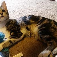 Domestic Shorthair Kitten for adoption in Columbus, Ohio - Stella